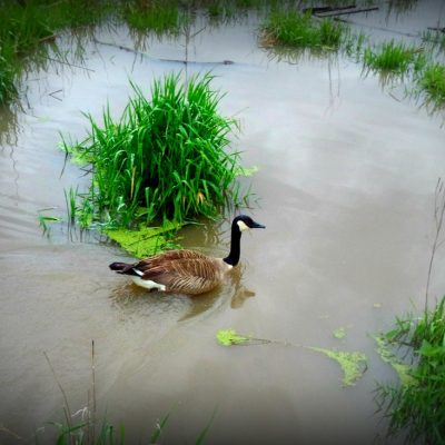 ANOTHER Saturday MORNING at the Boardwalk: Muskrats, Turtles, and Geese, Oh My!